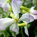 写真: 大根の花