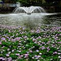 写真: 噴水とレンゲソウ