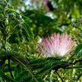 写真: 合歓の花