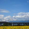 写真: ひまわり畑と新幹線