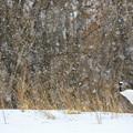Photos: 雪中丹頂鶴