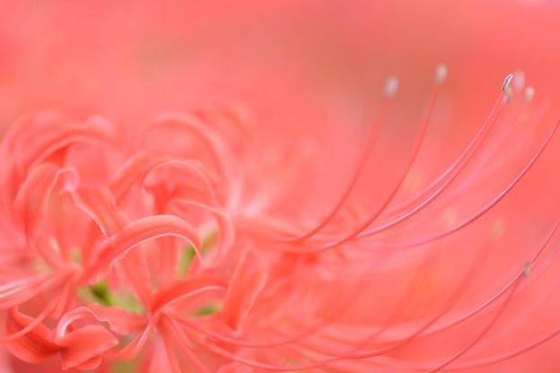 Lycoris radiata Pink