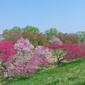 写真: 小布施橋の花桃