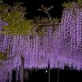 写真: 竹鼻別院の藤