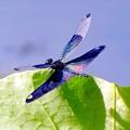 Photos: 蝶蜻蛉