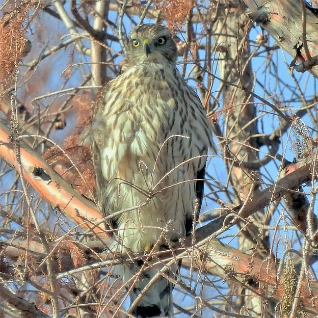 浮間公園の大鷹