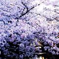 写真: 桜満開!