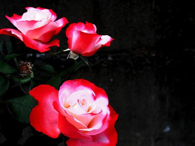 写真: 薔薇姉妹