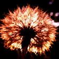 写真: 夕焼けタンポポ