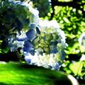 写真: 紫陽花の季節
