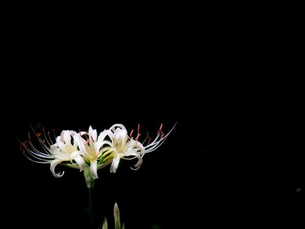白の彼岸花