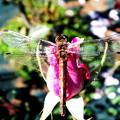 写真: トンボと薔薇