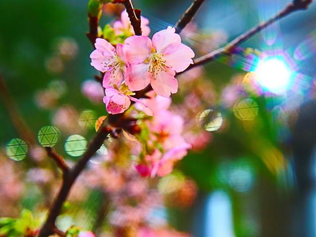一足お先の桜