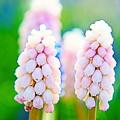 ピンクのムスカリ