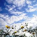空とコスモス