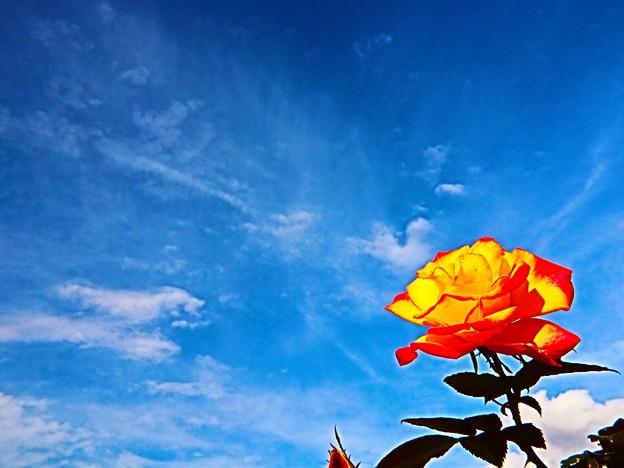 秋空にバラ