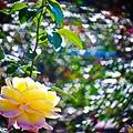 Photos: 幸せな薔薇