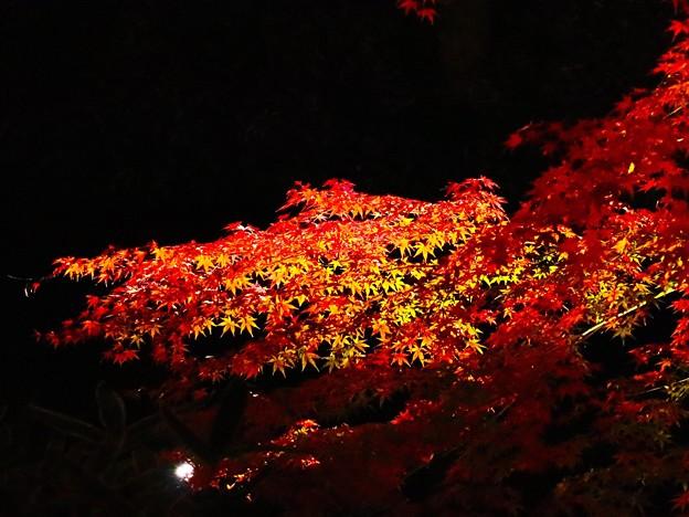 紅葉 ライトアップ