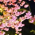 Photos: 桜も満開
