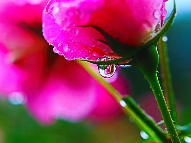 小さな、小さなバラ