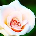 優しいバラ