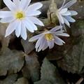 Photos: ユキワリイチゲ(雪割一華)が今年も咲いた2