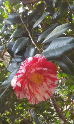 椿咲きました1