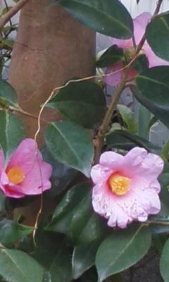 椿咲きました4