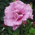 庭の小さな薔薇1
