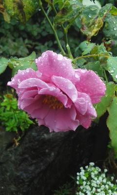 庭の小さな薔薇2