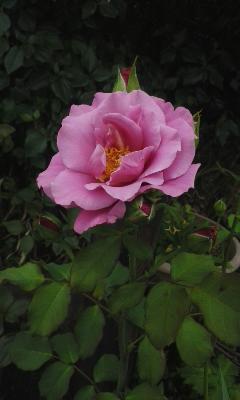庭の小さな薔薇3