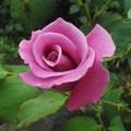 庭の小さな薔薇4
