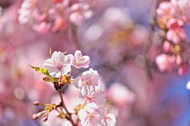 Photos: 河津桜多重露光です