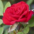 Photos: 情熱の赤い薔薇