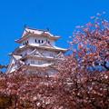 見納め 桜 2017...