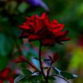写真: 薔薇は