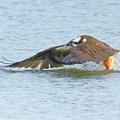 ミサゴと赤い魚
