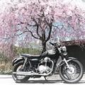 写真: 桜とbike
