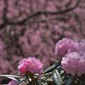 石楠花2-3