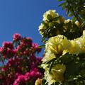 黄色石楠花・3