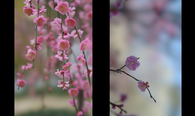 Photos: しだれ梅5-2