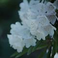 石楠花2-5