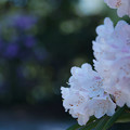 石楠花3-1