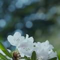 石楠花3-3