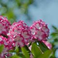 石楠花3-7