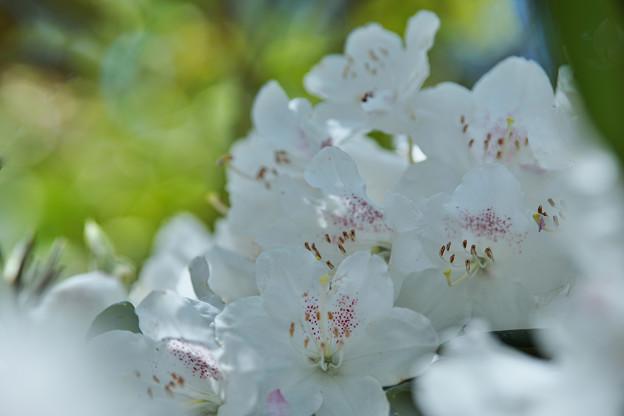 石楠花4-1