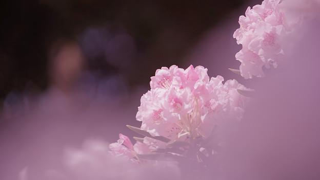 石楠花4-4