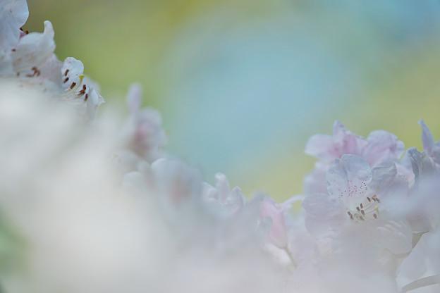 石楠花4-6