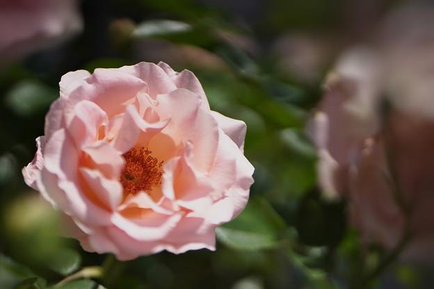 春バラ4-2