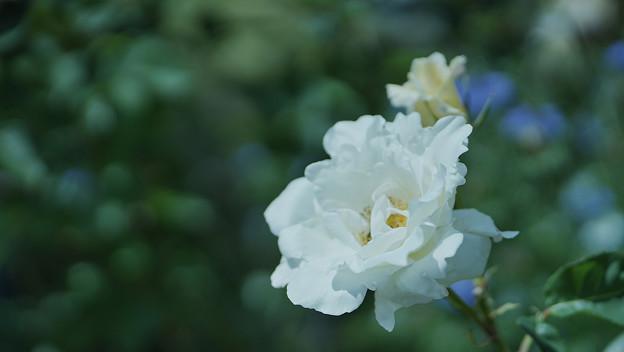春バラ4-5